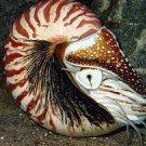 Nautilus~